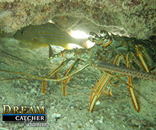 Florida Lobsters hiding under a rock to avoid capture.