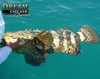 Goliath Grouper Key West